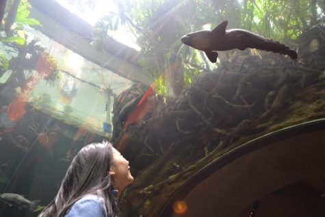 "Junior Cheryl Shin gazes upward at the exotic fish in the flooded rain forest exhibit in the Aquarium. ""My favorite part of the AP Bio field trip was being able to explore the museum with my friends. I got really excited in the aquarium and butterfly exhibits and it was just a fun day with friends,"" she said."