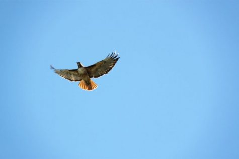 A male red-tailed hawk screeches and soars through the air. It has seen another male and is heading to defend its territory.