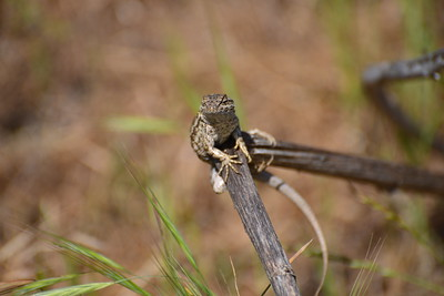 This male western fence lizard, distinguishable by the blue markings on his back, balances on a twig.