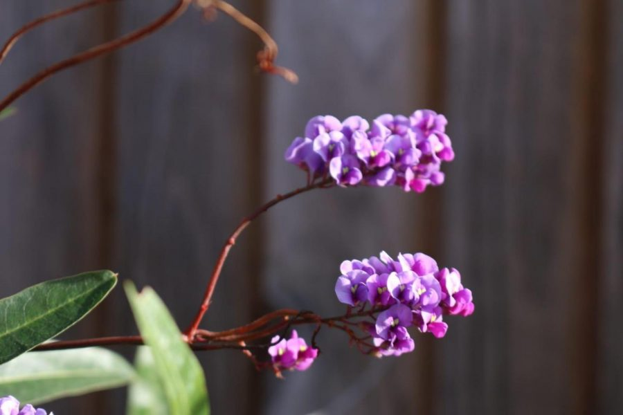 The early blooming Hardenbergia stands out in a dormant winter garden.